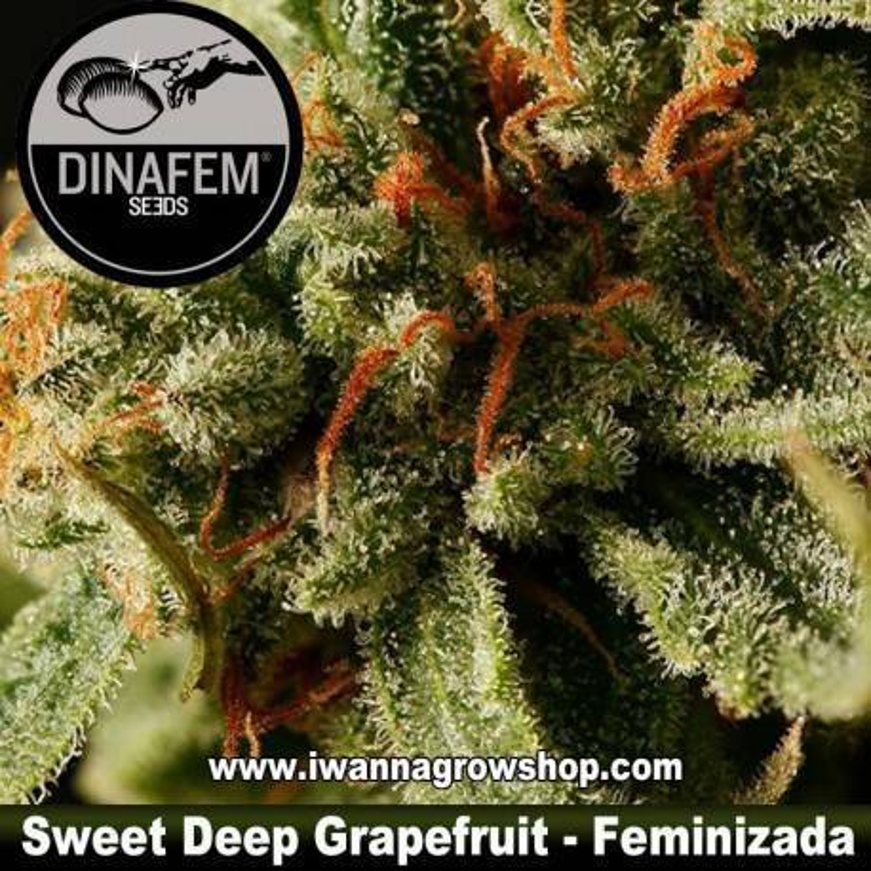 Sweet Deep Grapefruit feminizada Dinafem - 1, 3, 5 y 10 u.