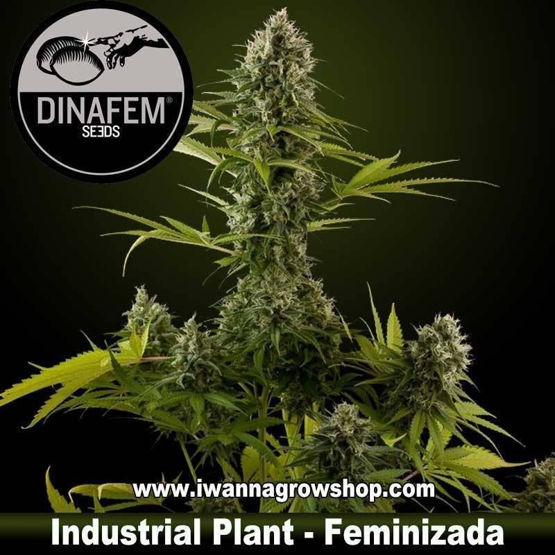 Industrial Plant feminizada dinafem 1, 3, 5 y 10 u.