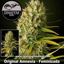 Original Amnesia - Dinafem - Feminizada