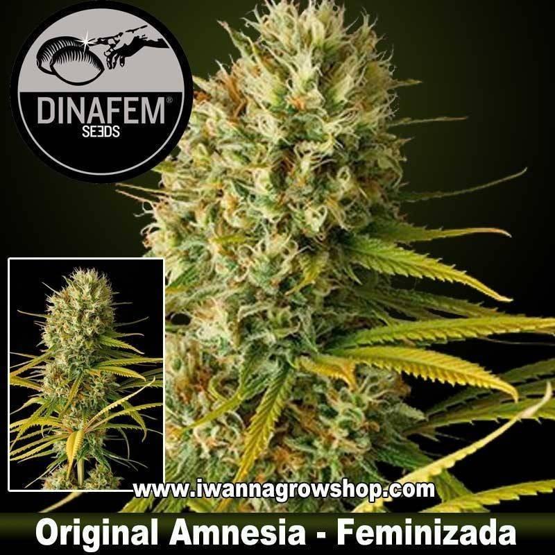 Original Amnesia feminizada dinafem. 1, 3, 5 y 10 u.