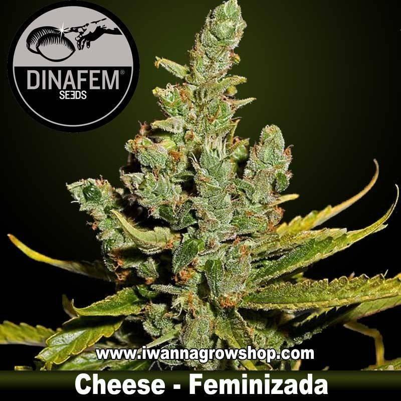 Cheese feminizada dinafem. 1, 3, 5 y 10 u.