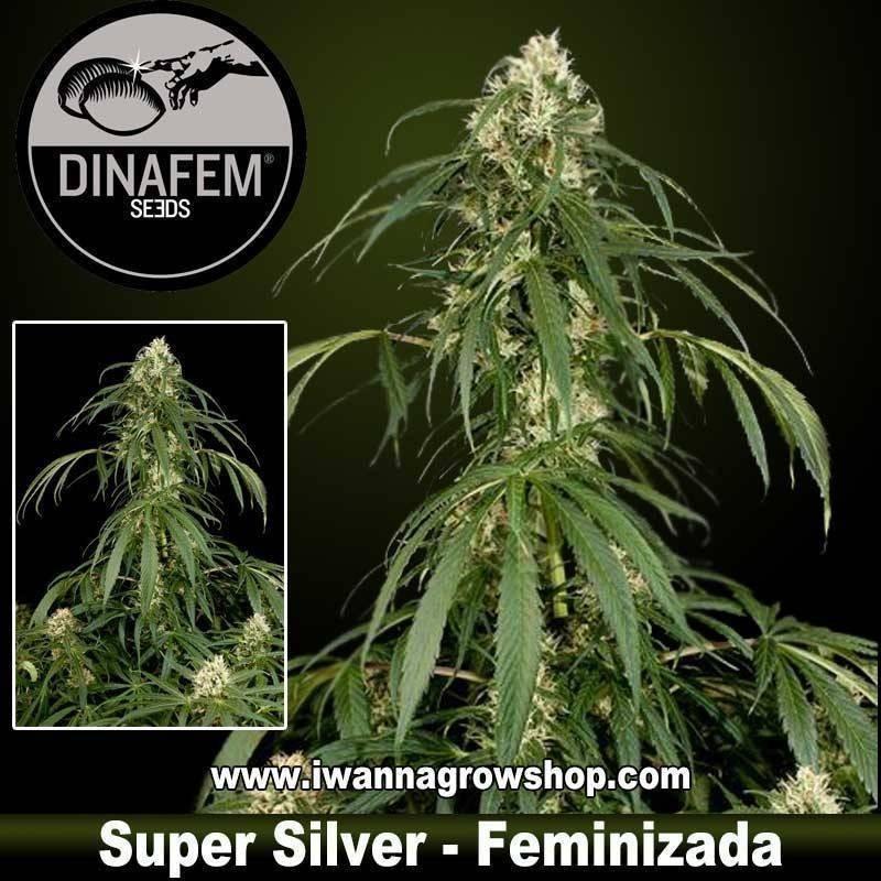 Super Silver Feminizada - Dinafem. 1, 3, 5 y 10 u.