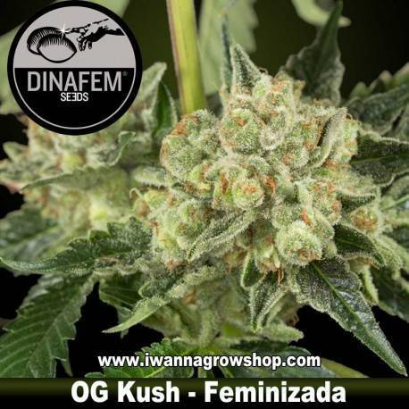OG KUSH de DINAFEM semilla feminizada (INDICA)