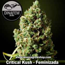 Critical Kush – Feminizada – Dinafem Seeds