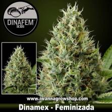 Dinamex – Feminizada