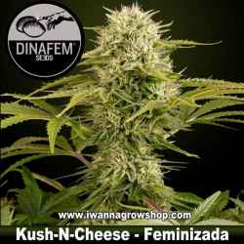 Kush n Cheese – Feminizada
