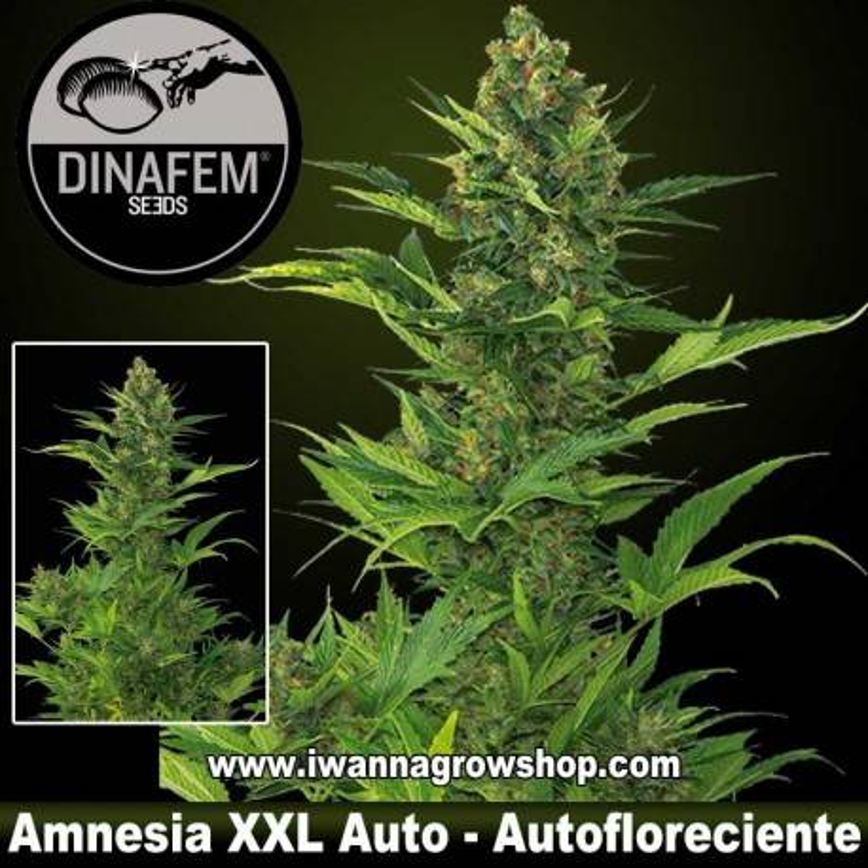 Amnesia XXL – Dinafem - Autofloreciente