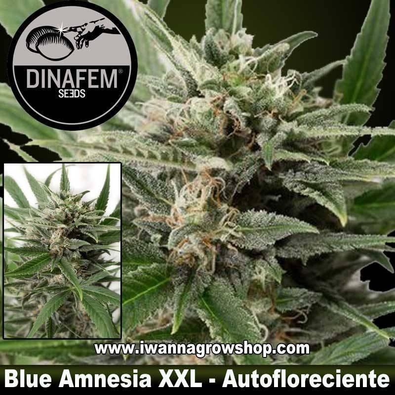 Blue Amnesia XXL