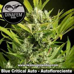 Blue Critical Auto – Autofloreciente – Dinafem Seeds