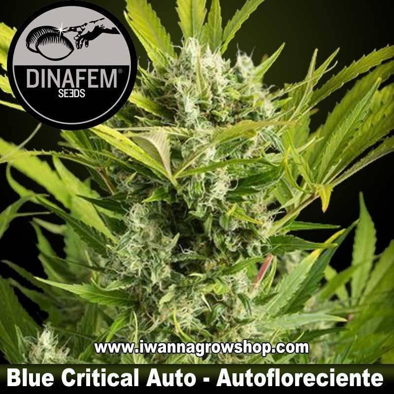 Blue Critical Auto – Dinafem - Autofloreciente
