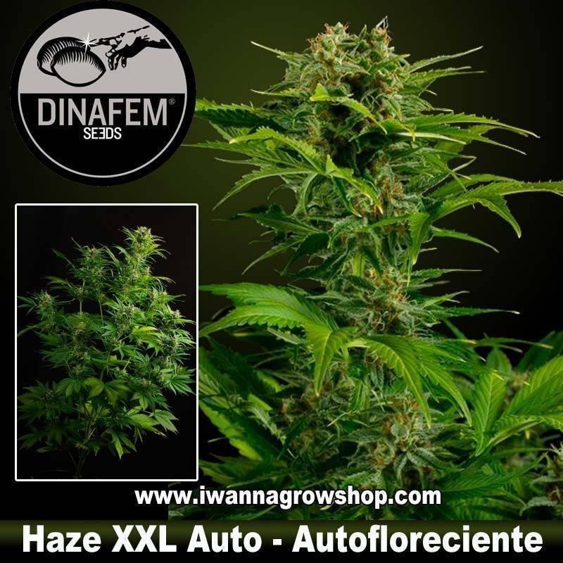 Haze XXL Auto – Dinafem - Autofloreciente