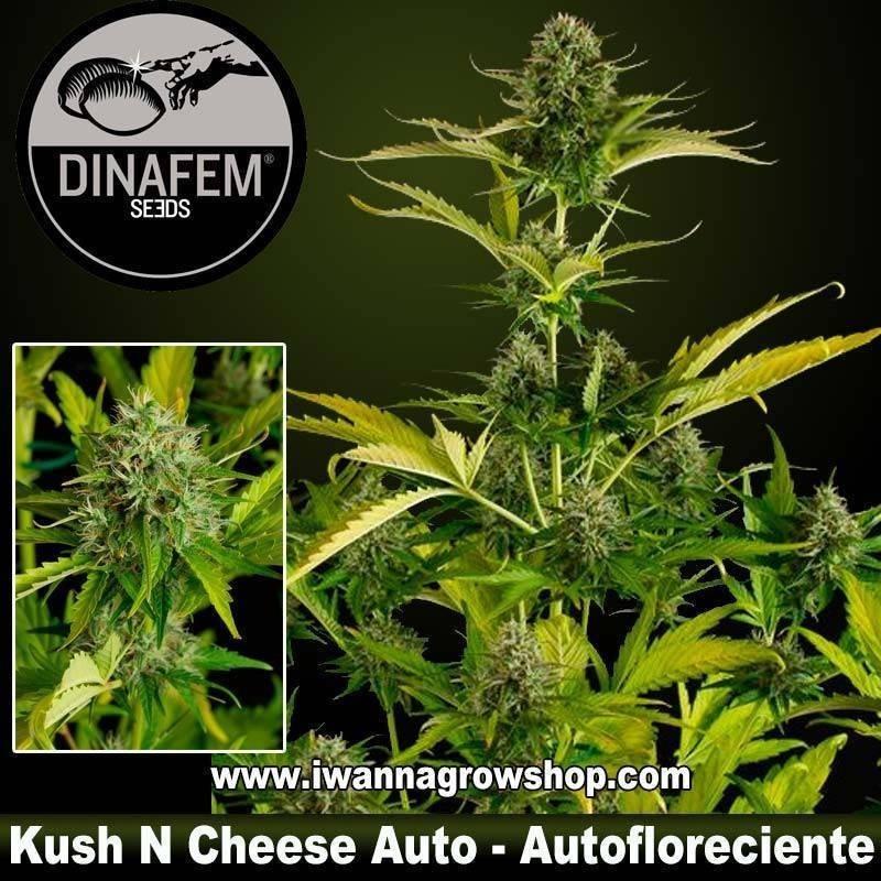 Kush N Cheese Auto – Dinafem - Autofloreciente
