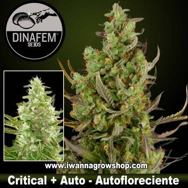 Critical + Autofloreciente Dinafem 1, 3, 5 y 10 u.