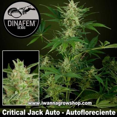 Critical Jack Auto – Autofloreciente – Dinafem Seeds