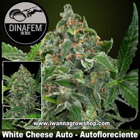 White Cheese Autofloreciente - Dinafem - 1, 3, 5 y 10 u.