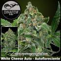 White Cheese Auto – Autofloreciente – Dinafem Seeds