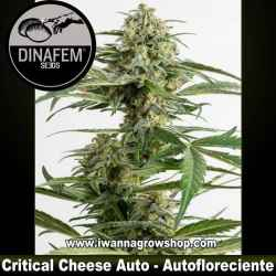 Critical Cheese Auto - Dinafem - Autofloreciente