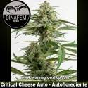 Critical Cheese Auto – Autofloreciente – Dinafem Seeds