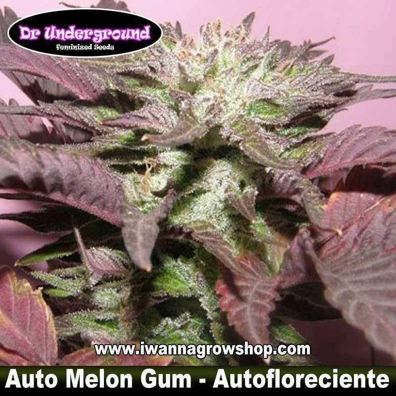 Auto Melon Gum