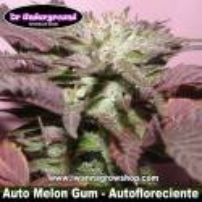 Auto Melon Gum – Autofloreciente – DR. Underground