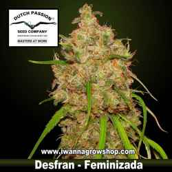 Desfran – Feminizada – Dutch Passion