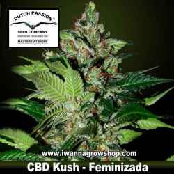 CBD Kush – Feminizada – Dutch Passion