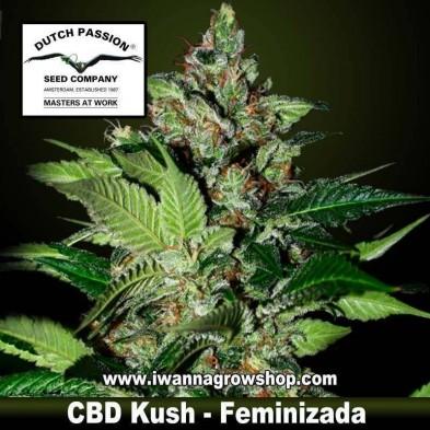 CBD Kush – Feminizada – Dutch Passion