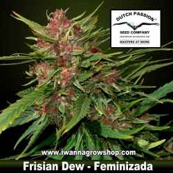 Frisian Dew – Feminizada – Dutch Passion