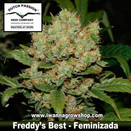 Freddy's Best feminzada - Dutch Passion - 3, 5 y 10 u.