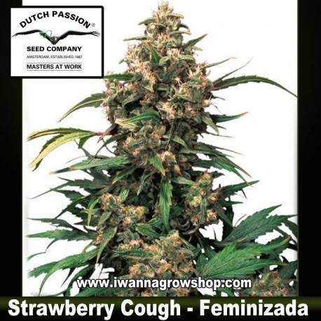 Strawberry Cough feminzada - Dutch Passion - 3, 5 y 10 u.