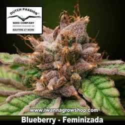Blueberry – Feminizada – Dutch Passion