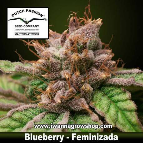 Blueberry feminizada - Dutch Passion - 3, 5 y 10 u.