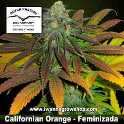 Californian Orange – Feminizada – Dutch Passion