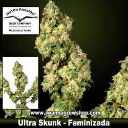 ULTRA SKUNK | DUTCH PASSION | Feminizada | Sativa