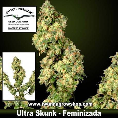 Ultra Skunk feminizada Dutch Passion - 3, 5 y 10 u.