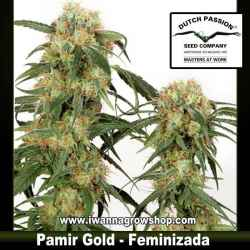 Pamir Gold – Feminizada – Dutch Passion