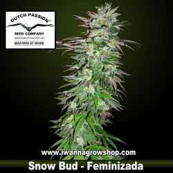 SNOW BUD | DUTCH PASSION | Feminizada | Sativa