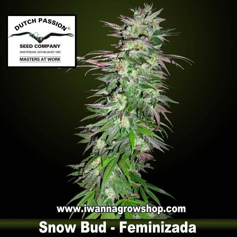 Snow Bud feminizada Dutch Passion - 3, 5 y 10 u.