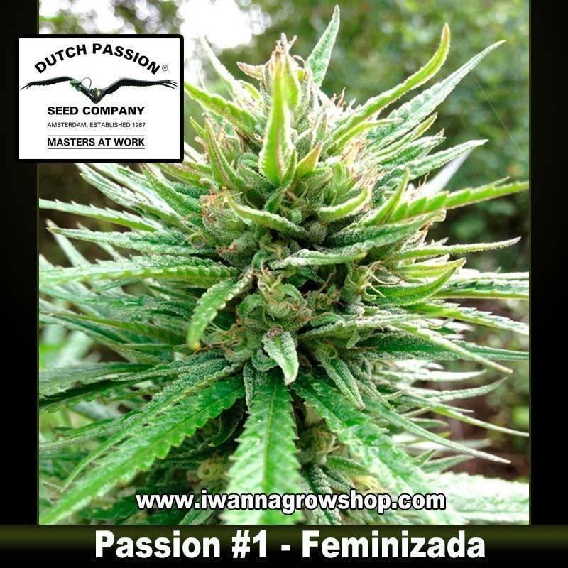 Passion 1 feminizada - Dutch Passion - 3, 5 y 10 u.