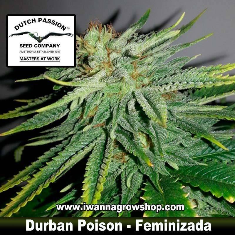 Durban Posion Feminizada - Dutch Passion - 3, 5 y 10 u.