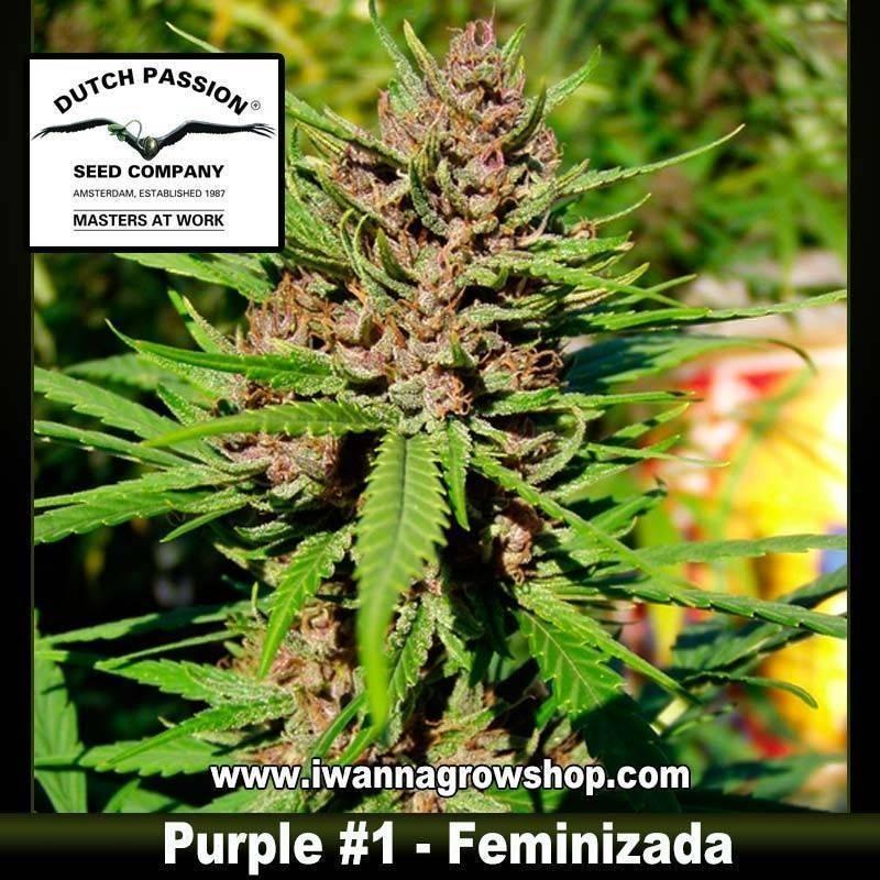 Purple 1 Feminizada - Dutch Passion - 3, 5 y 10 u.