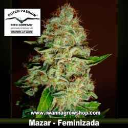 MAZAR | DUTCH PASSION | Feminizada | Indica
