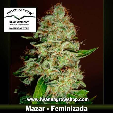 Mazar Feminizada - Dutch Passion - 3, 5 y 10 u.