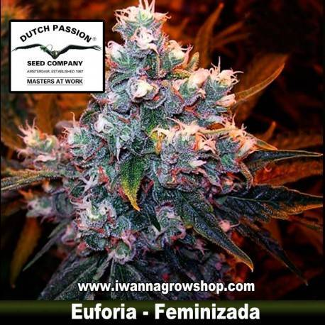 Euforia Feminizada - Dutch Passion - 3, 5 y 10 u.