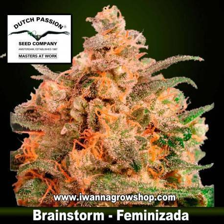Brainstorm Feminizada - Dutch Passion - 3, 5 y 10 u.