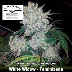 White Widow – Feminizada – Dutch Passion