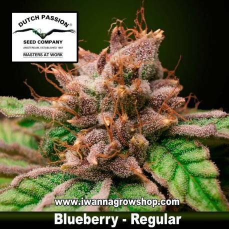 BLUEBERRY (REGULAR) de DUTCH PASSION - semilla (INDICA)