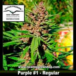 PURPLE 1 (REGULAR) de DUTCH PASSION - semilla (INDICA-SATIVA)