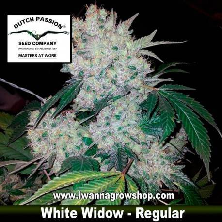 WHITE WIDOW (REGULAR) de DUTCH PASSION - semilla (INDICA)