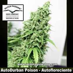 Auto Durban Poison – Autofloreciente – Dutch Passion